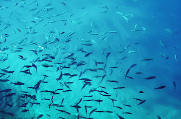 Toned picture of school of fish in the blue water of the ocean. Color of the year 2020.