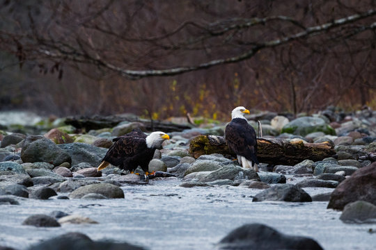 Close-up of Bald Eagles eating salmon next to the river while raining on cloudy day