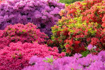 Aluminium Prints Azalea Colorful azalea flowers background 色とりどりのツツジの花 背景