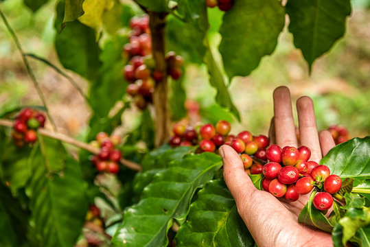 Robusta, Arabica, coffee berries, coffee beans.from Banmuang Coffee Village  Sangkhom District Thailand