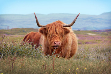 Wild beautiful Scottish Highland Cattle cow with brown long and scraggy fur and big horns in the dunes of island Texel in the Netherlands