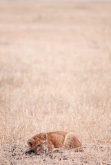 Young Lions lie peacefully in grass field Serebgeti savanna forest - Tanzania