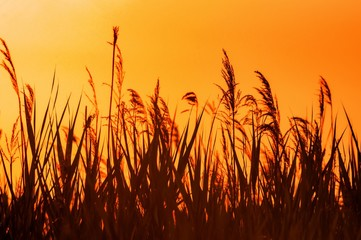 Foto auf AluDibond Braun Beautiful view of the wheat plants with the sunset in the background