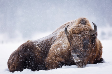 Bison or Aurochs in winter season in there habitat. Beautiful snowing