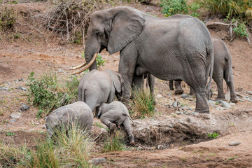Elephant herds in the Kruger National Park drinks at the waterhole, a whole family with baby passes a river or lake through the savanna of South Africa, pure wilderness and picturesque safari scenery