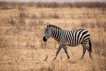 Zebra (Equus quagga)