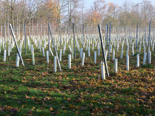 vineyard with protected upcoming vines on a hill in hte sout of the Netherlands