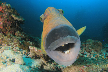 Wall Mural - Titan Triggerfish fish