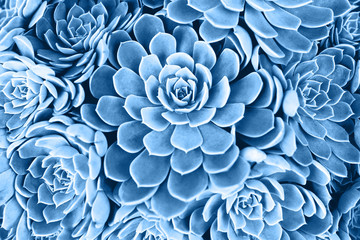 Poster Bloemen Blue toned succulent. Main color trend for 2020 year.