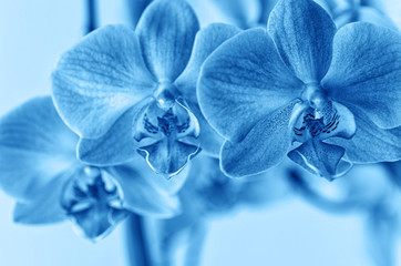Papiers peints Orchidée Phalaenopsis orchid flower toned blue. Grows in Tenerife, Canary Islands. Orchids close-up.