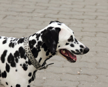 Portrait of beautiful Dalmatian dog breathing with mouth
