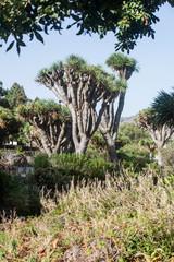Drachenbäume im Botanischen Garten von GranCanaria.