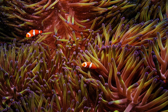 Two clownfish swim inside of a sea anemone in the Great Barrier Reef off the coast of Cairns, Australia