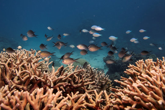 A school of fish swim above a staghorn coral colony as it grows on the Great Barrier Reef off the coast of Cairns, Australia
