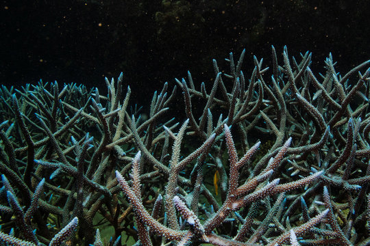 Branching staghorn coral grows on the Great Barrier Reef off the coast of Cairns, Australia