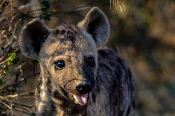 Deurstickers Hyena hyena in Africa