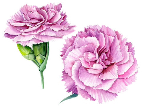 carnation flowers on an isolated white background, watercolor illustration