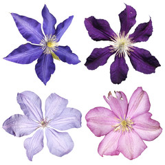 Fototapete - Set of four clematis isolated on white background