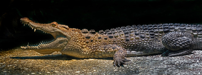 Philippine crocodile on the ground in its enclosure. Latin name - Crocodylus mindorensis
