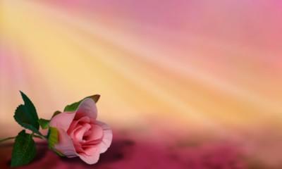 Rose sur fond flou