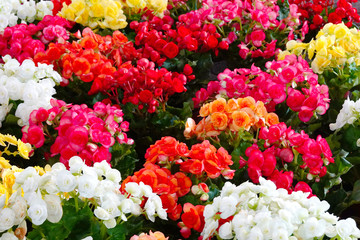 Begonia flowers that are colorful, beautiful and diverse.
