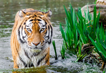 The real bengal tiger in small lake