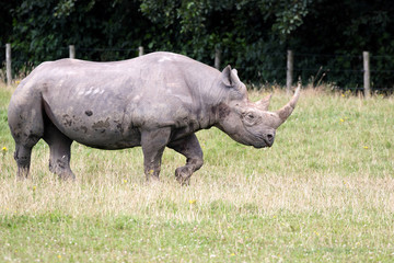 Black Rhinoceros or Hook-lipped Rhinoceros (Diceros bicornis)