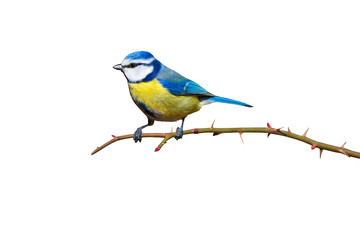 Colorful bird blue tit. Isolated cute bird and branch. White background. Bird: Eurasian Blue Tit. Cyanistes caeruleus. Fotomurales