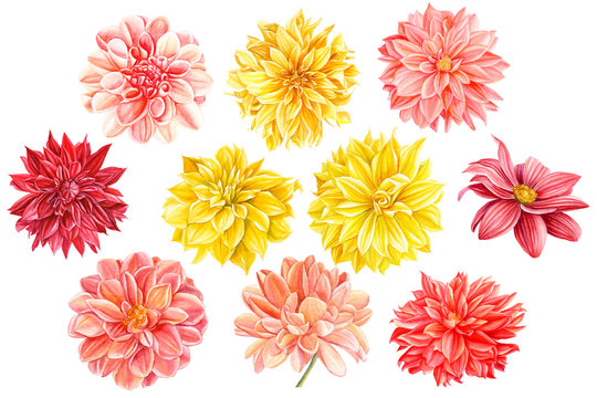 set of beautiful multicolored flower dahlia, botanical painting, watercolor drawing, illustration, a large collection of flowering plants on an isolated white background