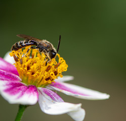 Bee pollinating on a flower blossom
