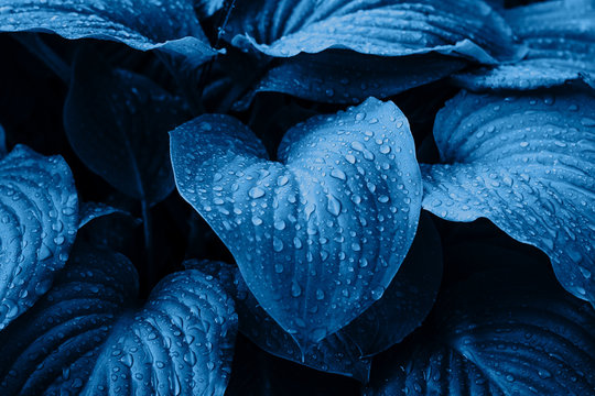 Hosta leaves after the rain. Blue trend background