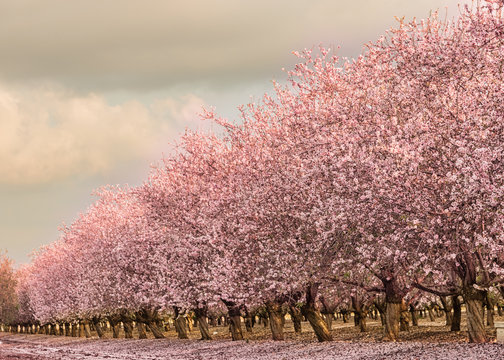 Almond grove of pink blooming trees
