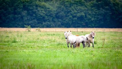 Pony-Herde