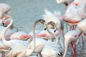 In de dag Flamingo Caribbean pink flamingo at Ras al Khor Wildlife Sanctuary, a wetland reserve in Dubai, United Arab Emirates