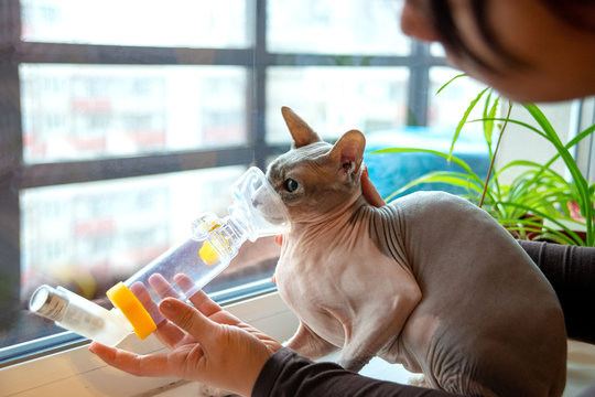 Young woman take care of a pet sphynx cat with asthma.  She makes him inhalation using the apparatus at home.