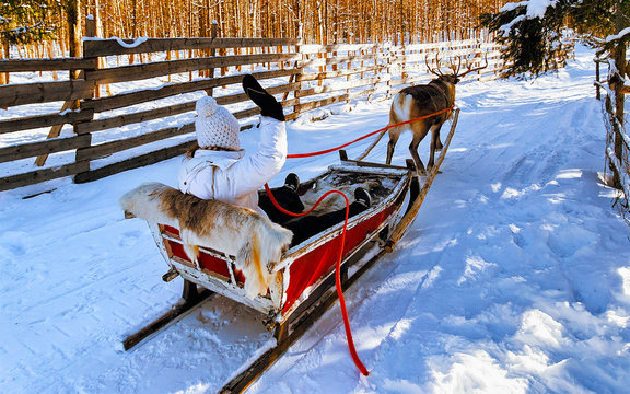 Woman on Reindeer sleigh in Finland in Rovaniemi at Lapland farm. Lady on Christmas sledge at winter sled ride safari with snow Finnish Arctic north pole. Fun with Norway Saami animals
