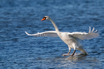Foto auf Gartenposter Schwan Swan landing on the water
