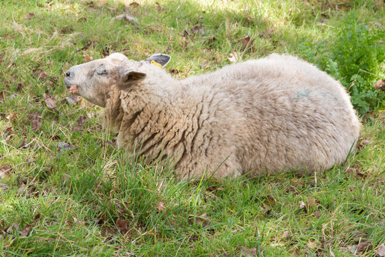 White sheep lying down in a field in Brittany