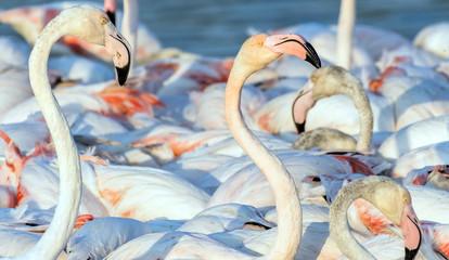 Foto op Canvas Flamingo Caribbean pink flamingo at Ras al Khor Wildlife Sanctuary, a wetland reserve in Dubai, United Arab Emirates