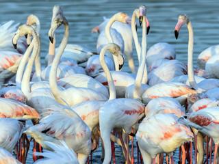 Fotobehang Flamingo Caribbean pink flamingo at Ras al Khor Wildlife Sanctuary, a wetland reserve in Dubai, United Arab Emirates