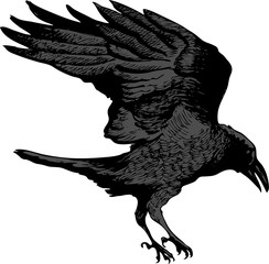 vector image of a black raven flying for prey in artistic art outline style