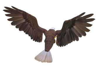 Fototapete - bald eagle attacking on white background top rear view
