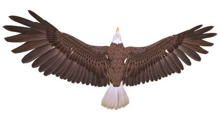 Fototapete - bald eagle floating on white background top view