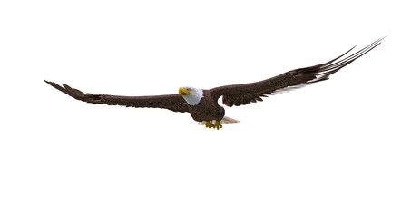 Fototapete - bald eagle floating on white background