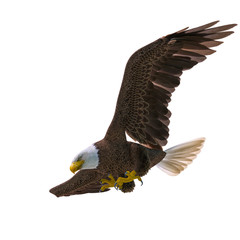 Fototapete - bald eagle hunting down on white background bottom view