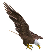 Fototapete - bald eagle hunting down on white background