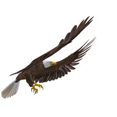 Fototapete - bald eagle landing on white background side view