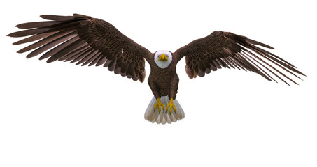 Fototapete - bald eagle landing on white background