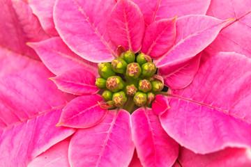 Pink Poinsettia Blooming Macro Washington