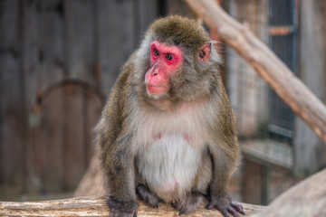 Portrain of Japanese Macaque Monkey Sitting on Tree Trunk in ZOO